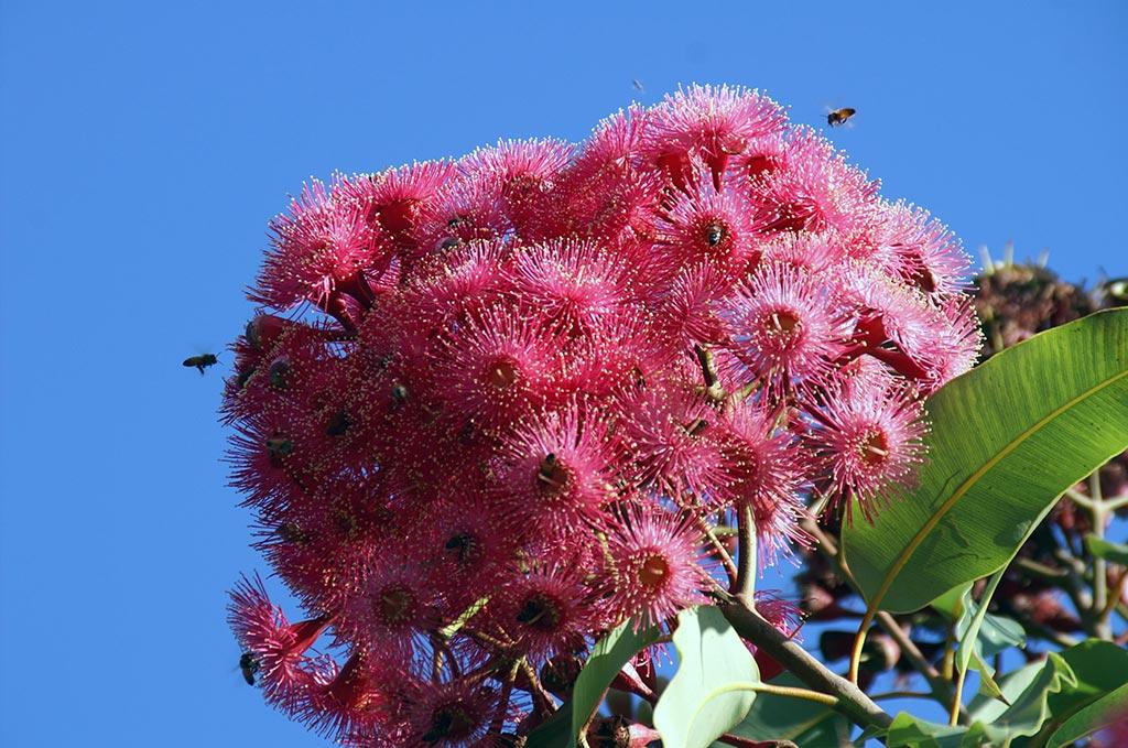 פרחי עץ אקליפטוס